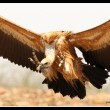 Eurasian Griffon landing at carcass in Madhya Pradesh