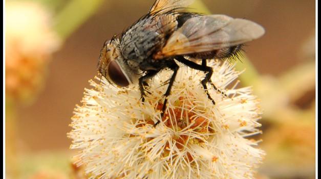 A fly sucks pollen from an Acacia flower