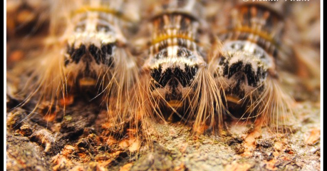Hairy catterpillars display their funky hairstyles