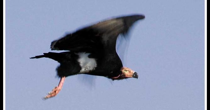 A King Vulture in full resplendence