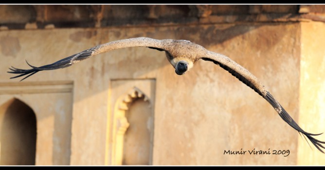 a critically endangered Long-billed Vultures takes off from its perch on the cenotaphs of Orchha