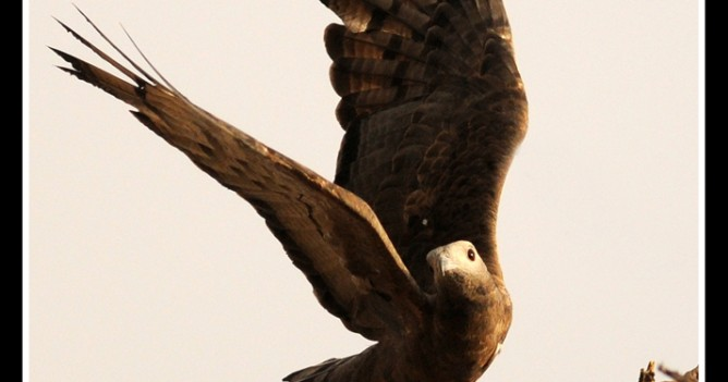 An Oriental Honey Buzzard takes off from its perch in Ranthambhore National Park, India