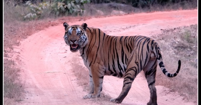 "The mighty ""Bokha"", male of Bandhavgarh National Park - not in a good mood"