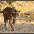 Star male from Ranthambhore National Park