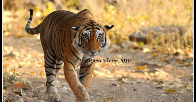 Star male from Ranthambhore National Park