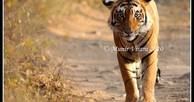 Star male from Ranthambhore swaggers along the Futakot road