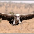A Ruppell's Vulture arrives at a carcass at Nairobi National Park