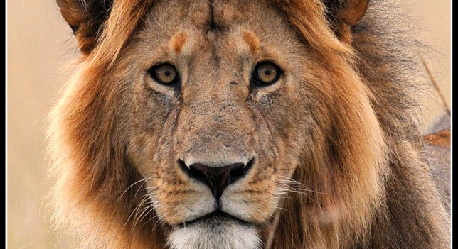 Simba portrait in the Mara