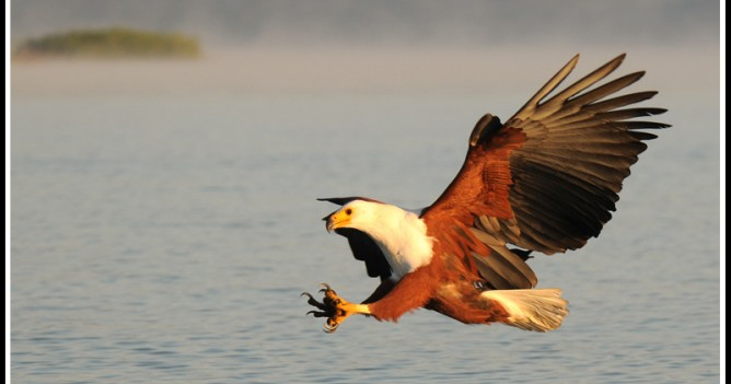 African Fish Eagle at Lake Naivasha
