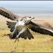 A young Martial Eagle takes off after grabbing a snack