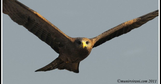 African Yellow-billed Kite soars over Nairobi