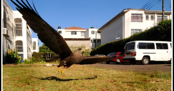 An African Yellow-billed Kite swoops down the urban sprawl of Nairobi
