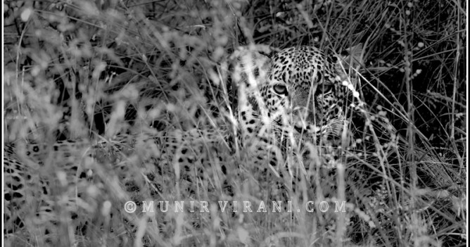 Leopard in Tsavo