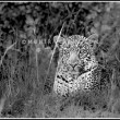 Leopard in the Masai Mara