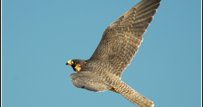 Peregrine Falcon female in flight