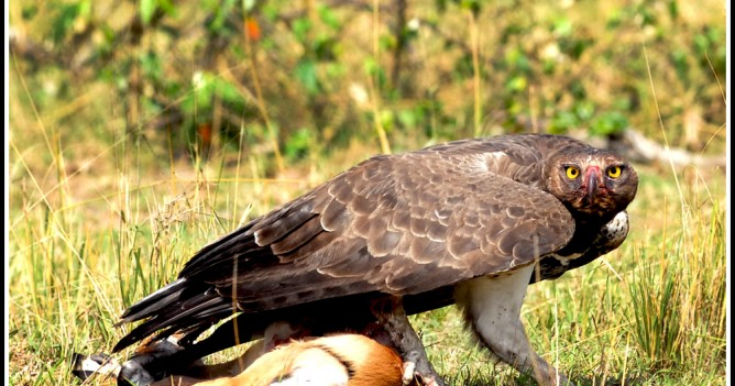 Martial Eagle on a thompson's gazelle
