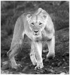 A lioness stalks a hartebeest in Nairobi Park