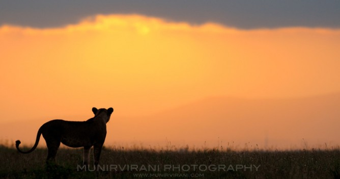 A lioness watches the sun go down in Nairobi Park