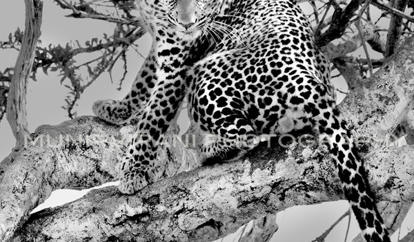 A male leopard&#039;s electrifying stare