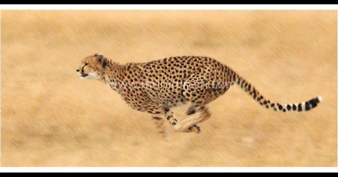 Cheetah doing an explosive chase after a young Thompson's Gazelle