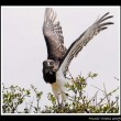 Black-chested Snake Eagle about to take off
