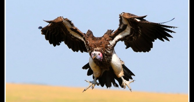 A Lappet-faced Vulture about to land