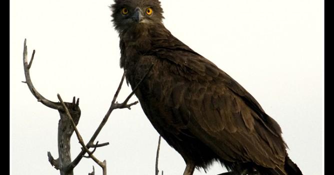 Brown Snake Eagle at Tsavo West