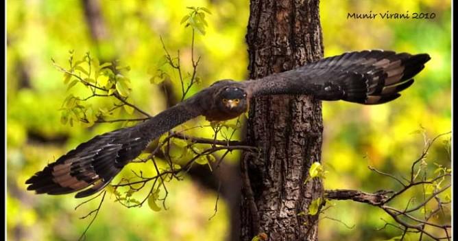 Crested Serpent Eagle taking off