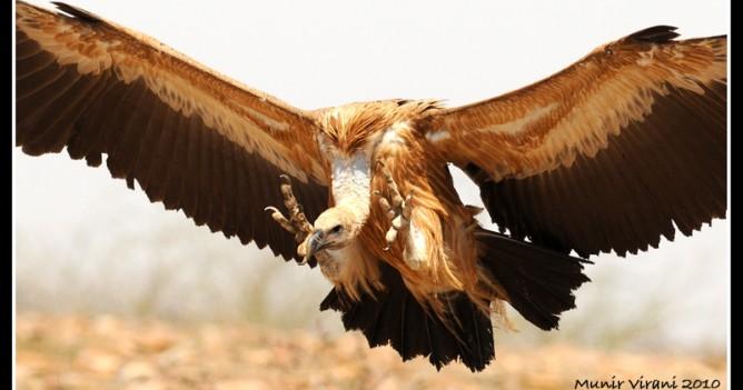 Eurasian Griffon landing at carcass in Madhya Pradesh