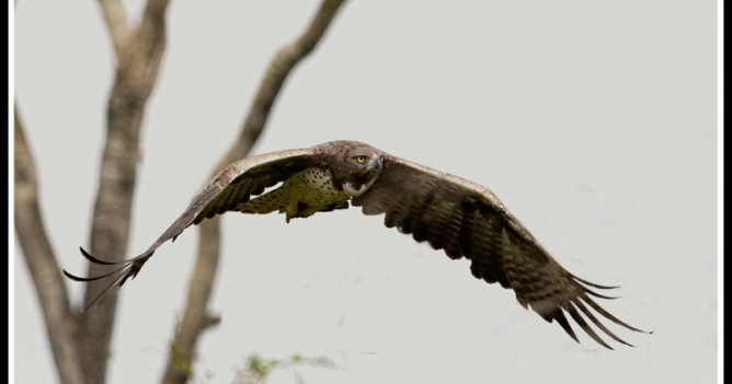 A Martial Eagle prepares for a kill in Tsavo West National Park