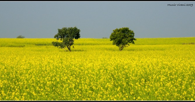 A field of mustard in the heart of Madhya Pradesh near Pohri