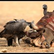 The critically endangered Oriental White-backed Vulture cautiously ponders over feeding on a carcass
