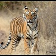 A young tiger emerging from playful mode is suddenly aware of nearby deer