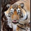 A male tiger at Ranthambhore licks his lips as he ponders whether to jump at the photographer or not