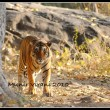 Star male at Ranthambhore National Park