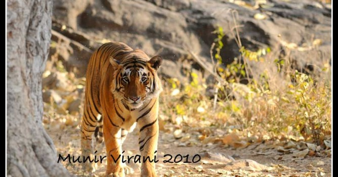 Star male at Ranthambhore National Park