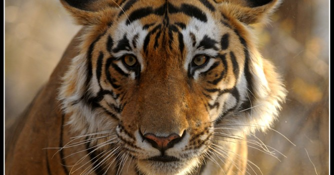 With only 1411 Tigers left in India, Star Male ponders over his future at Ranthambhore National Park