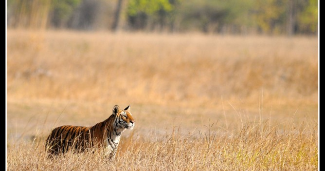 A tigress searches the horizon for prey to feed her hungry cubs - Bandhavgarh National Park India
