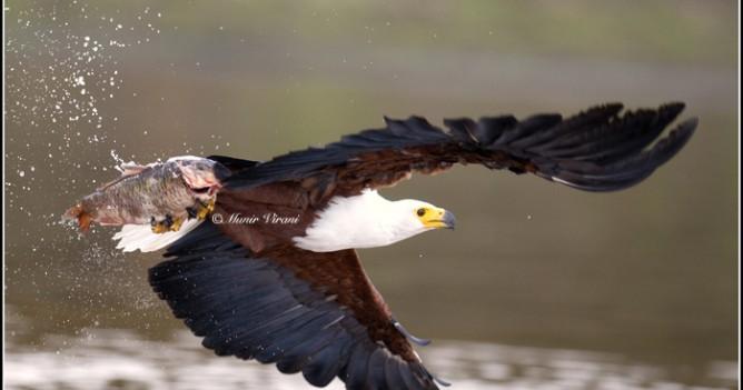 The quintessential killer of fish - African Fish Eagle at Lake Naivasha