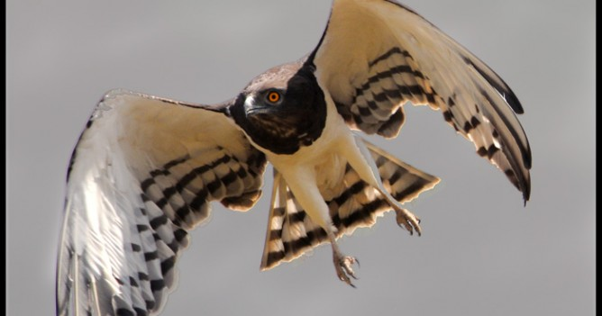 A Black-chested Snake Eagle takes off