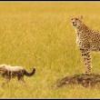A female Cheetah watches over her lone cub in the Mara plains