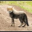 Cheetah cub crosses the road in the Mara North Conservancy