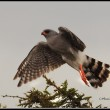 A Gabar Goshawk takes off from its perch