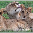 A lioness displays affection for her cubs
