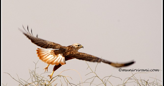 A Long-legged Buzzard takes of from its perch in Western Rajasthan