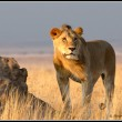 A young lion scans the horizon for prey