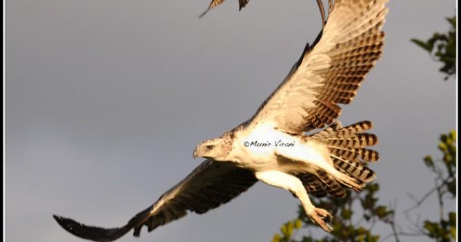 A Drongo chases away a juvenile Martial Eagle