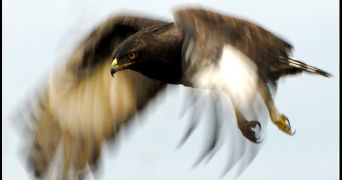 A Long-crested Eagle takes off
