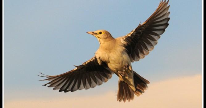 Wattled Starling taking off in the Masai Mara