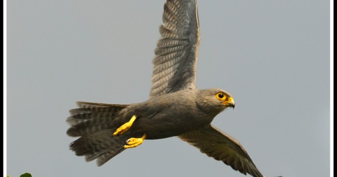 Grey Kestrel taking off in the Mara